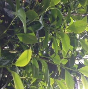 長崎大村角ずしの椿の葉