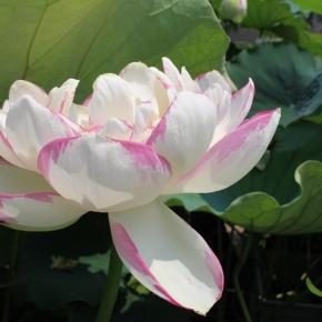 最勝寺蓮の花