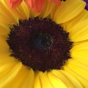 向日葵 ひまわり Sunflower
