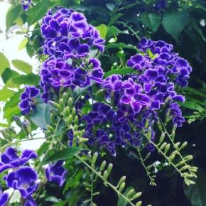 夏の紫の花