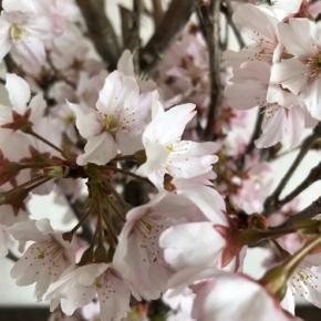 桜 花 フラワー